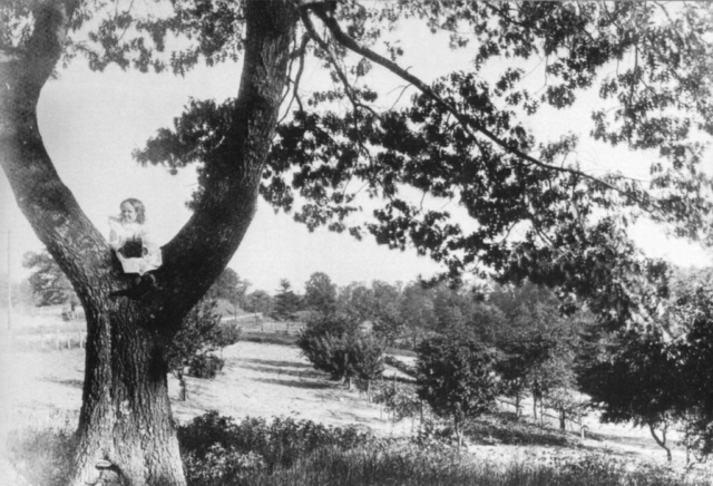 Coe Orchard - View from Morningside Ave, looking south, Ellis Avenue can be seen on the left. Helen Smith, daughter of R. C. Smith, is in the tree with a little camera in her hand. Photo by R.C. Smith 1895-1900