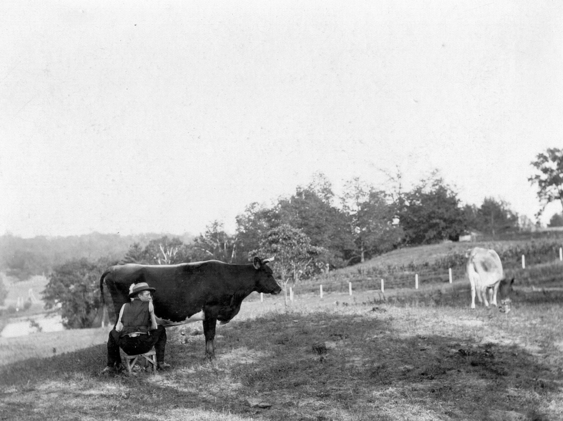 Looking east from Ellis Avenue to Grenadier Pond in 1891, the cattle of John Ellis Jr. are being milked in the pasture.